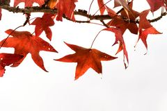 Close up and isolated Japanese maple leaves in autumn or fall on a sunny day with copy space. Leaves of Japanese maple tree in the sky with copy space for texts royalty free stock photography