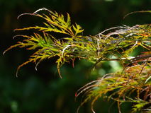 Leaves. This is a Japans plant and made in march Stock Photography