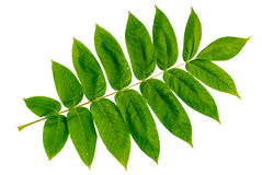Leaves. Juglans mandshurica leaves isolated on white background Royalty Free Stock Photo