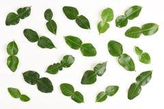 Leaves of Kaffir lime, Leech lime, Mauritius papeda (Citrus x hystrix L.) Royalty Free Stock Image