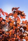 Leaves of Korea Maple, Acer palmatum Atropurpureum. Dark red feathery acer, bright blue sky on the background. Royalty Free Stock Photo