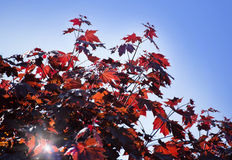 Leaves of Korea Maple, Acer palmatum Atropurpureum. Dark red feathery acer, bright blue sky on the background. Royalty Free Stock Photography