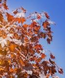 Leaves of Korea Maple, Acer palmatum Atropurpureum. Dark red feathery acer, bright blue sky on the background. Stock Photo