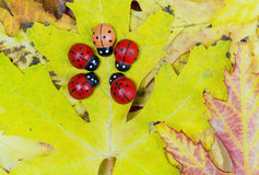 Leaves and ladybugs Stock Photography
