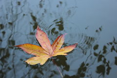 Leaves in the lake Stock Photography