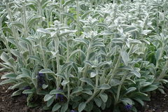 Leaves of lambs ear covered with silver white silky lanate hairs. Leaves of lamb`s ear covered with silver white silky lanate hairs Stock Photos