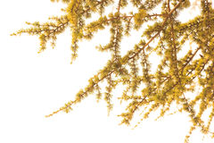 The leaves of larch tree with white background in vintage style Stock Image