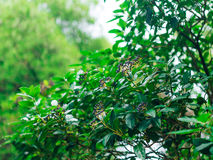 Leaves of laurel and berries on a tree. Laurel leaf in the wild Royalty Free Stock Image