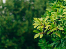 Leaves of laurel and berries on a tree. Laurel leaf in the wild Stock Images
