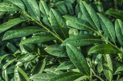 Leaves of a laurel photo. Plant for cooking and medicine royalty free stock photography