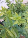 Leaves. Laurel tree and leaves in my garden meknes Stock Photos