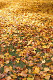 Leaves on lawn. Gold and yellow fall leaves covering a lawn stock photos
