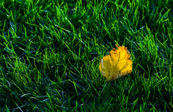 Leaves on the lawn Royalty Free Stock Images