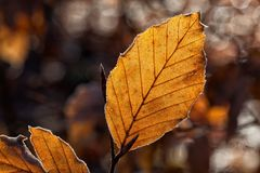 Leaves, Leaf, Fall Foliage, Autumn Royalty Free Stock Images