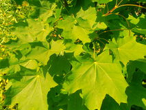 Leaves. Leaf green summer Royalty Free Stock Photography