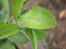Leaves lemon tree stock video footage