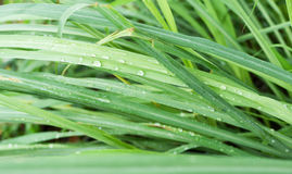 Leaves of lemongrass. The leaves of lemongrass have drops of water Royalty Free Stock Image