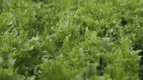 Leaves of lettuce collected in round small formations common cabbage stock footage
