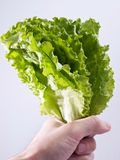 Leaves Lettuce in hand Royalty Free Stock Image