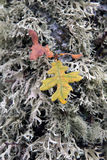 Leaves and Lichens on oak trunk Royalty Free Stock Images