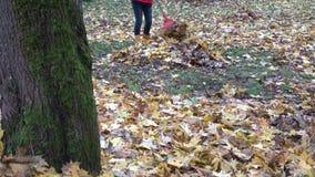 Leaves lie on ground under tree and farmer woman rake foliage. Tilt down. 4K stock video footage