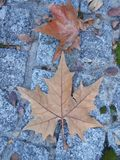 Leaves 6. Light bright contrast dry fall autumn leaf Stock Photography
