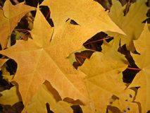 Leaves 7. Light bright contrast fall autumn yellow vivid dry autumn Royalty Free Stock Image
