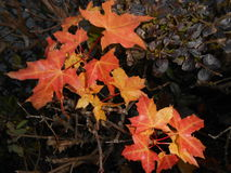 Leaves 4. Light bright contrast red yellow autumn fall Stock Photo