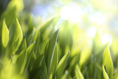 Leaves of lilies of the valley Royalty Free Stock Photos