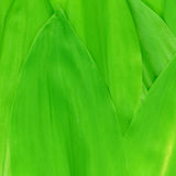Leaves lily of the valley. Royalty Free Stock Photo