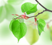 Leaves of Lime Royalty Free Stock Image