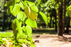 Leaves of lime tree illuminated by sun in park. Leaves of lime tree close up illuminated by sun in urban park in sunny day at the beginning of autumn royalty free stock image
