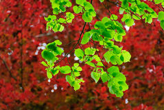Leaves of a linden in spring Stock Photography