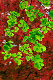 Leaves of a linden in spring Royalty Free Stock Photo