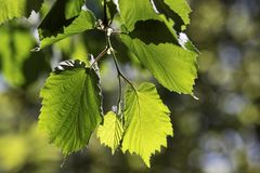 Leaves of linden tree Royalty Free Stock Photo