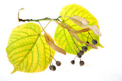 Leaves of linden-tree Stock Images