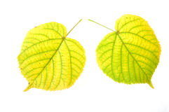 Leaves of linden-tree Royalty Free Stock Image