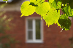 The leaves of linden and a window Stock Photo