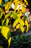 Leaves Lit By The Sun Royalty Free Stock Photos