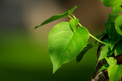 The leaves Royalty Free Stock Images
