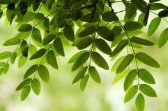 Leaves of Locust tree in spring. Green leaves of locust tree in spring stock photos