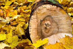 Leaves and log. Fallen leaves and a split log Stock Photos