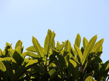 Leaves of loquat tree. A detail of some leaves of loquat tree in backlight Royalty Free Stock Images