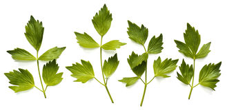 Leaves of lovage Royalty Free Stock Photography