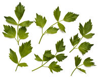 Leaves of lovage Royalty Free Stock Photos