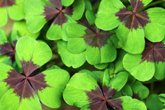 Leaves from Lucky Clover Stock Photography