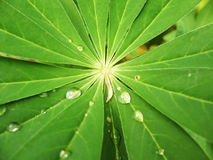 The leaves of lupine (Lupinus), family Fabaceae. With drops of rain Stock Images