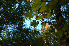 Leaves. Lying down in the woods. Blue sky behind the leaves. Beginning of Autumn in Europ, Poland, Wola Uhruska Royalty Free Stock Photos