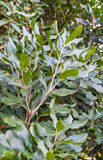 Leaves Macadamia nuts tree Stock Photo
