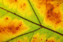 Leaves macro Royalty Free Stock Photography